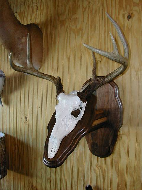 Deer Head Mount >> Novelty Taxidermy Mounts Gallery | Wall New Jersey Taxidermist