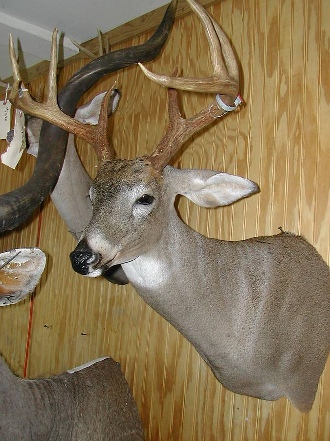 Shoulder Mounts Gallery Wall New Jersey Taxidermist